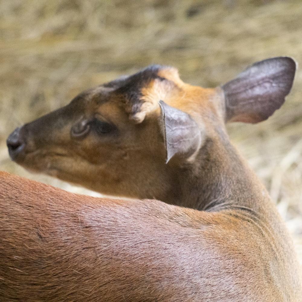 brown deer facing sideways