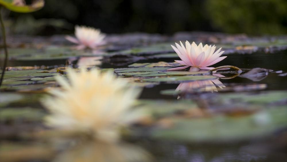 lotus flowers on body of water