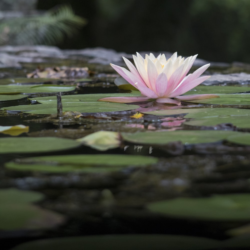 pink and white Nymphaea nelumbo bloom during daytime
