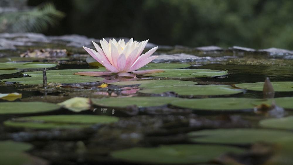 pink-petaled water flower