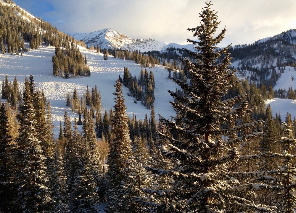 brown pine trees