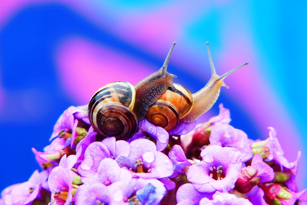 two snails on pink flowers