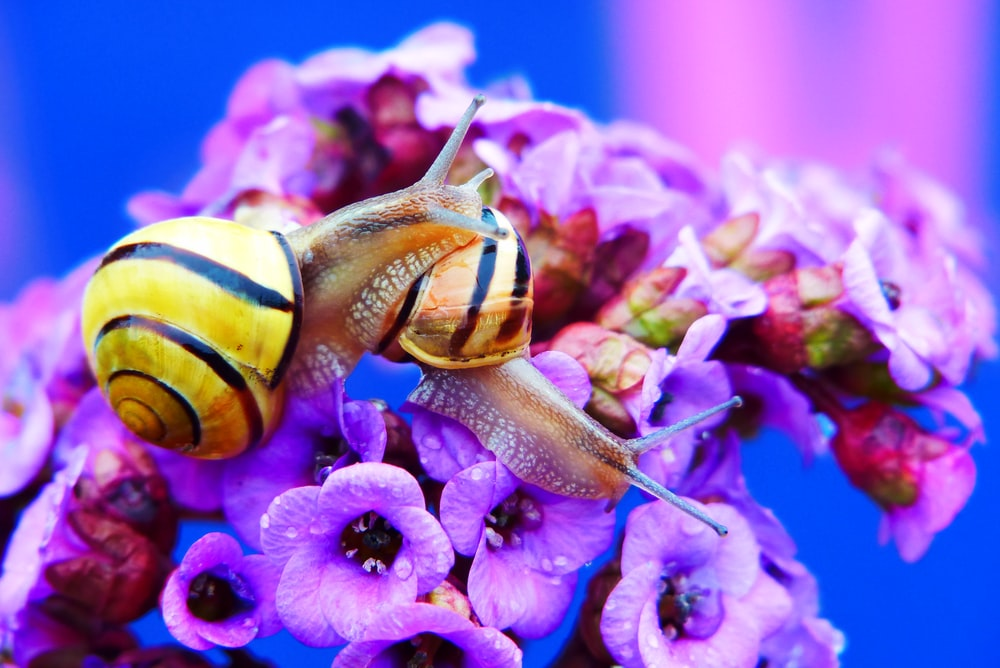 two brown snails on purple flowers