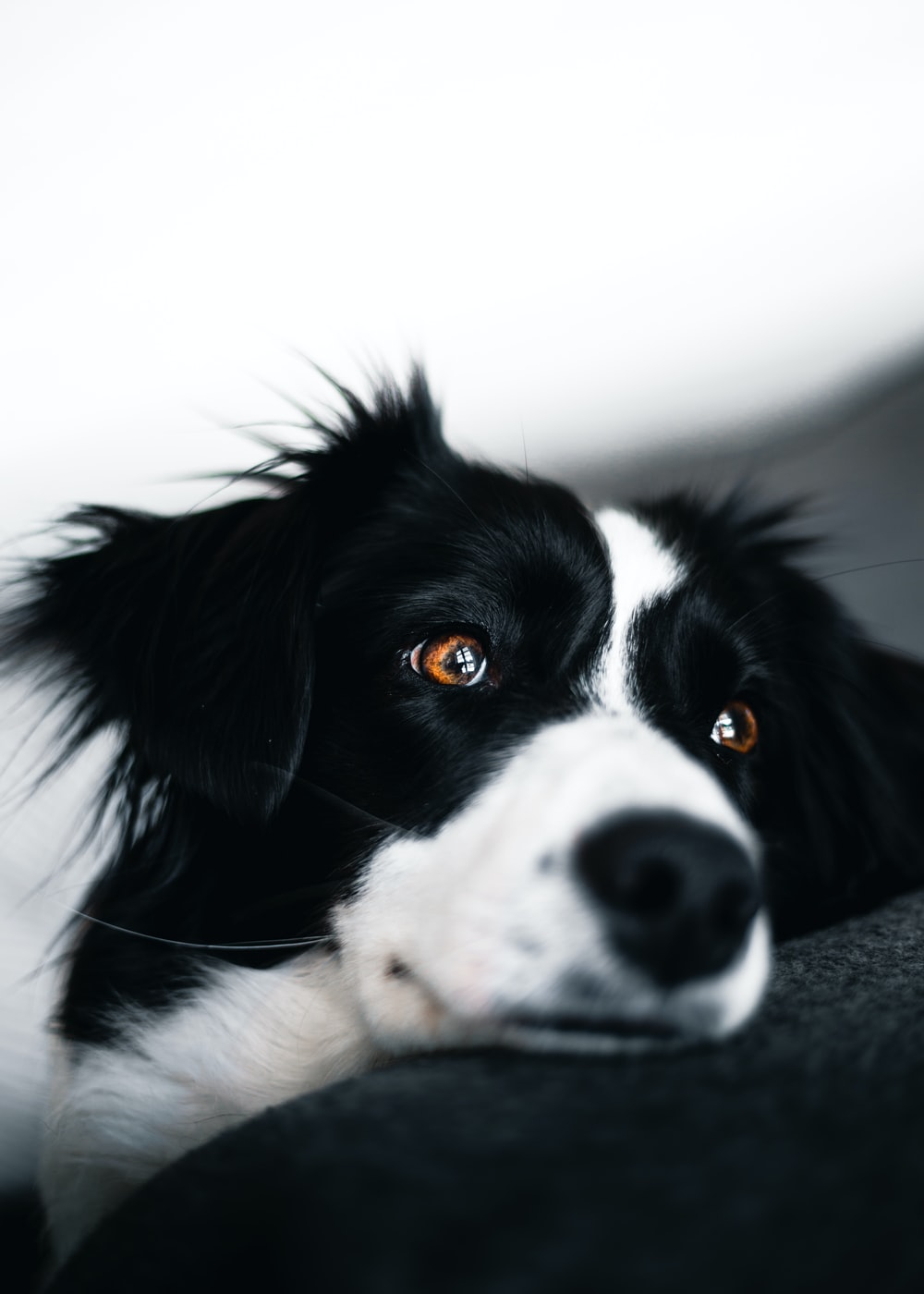 white and black dog lying on sofa