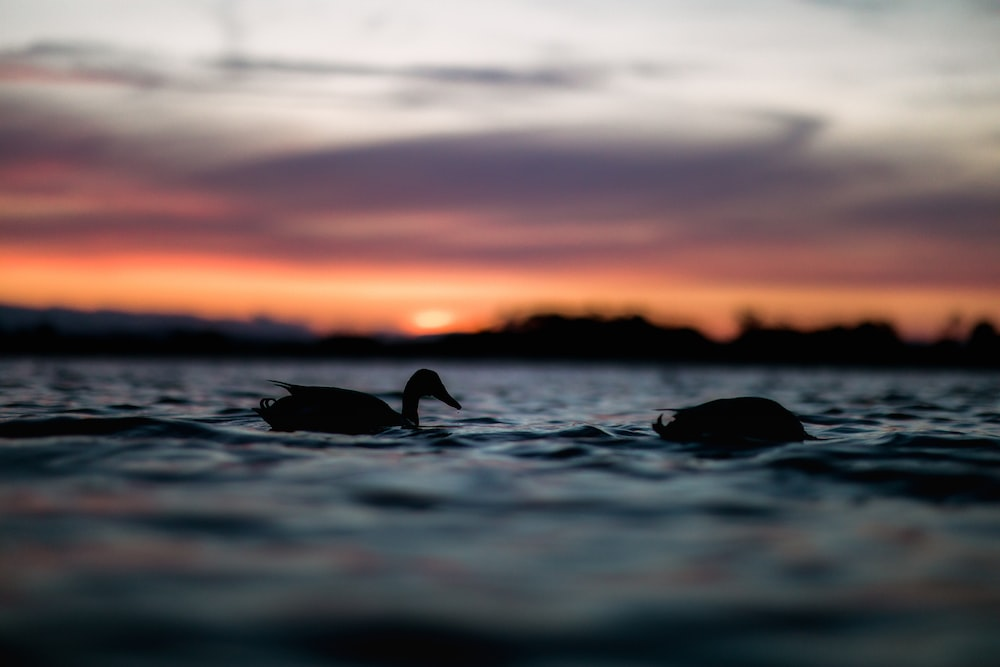 silhouette photography of two ducks floating in water