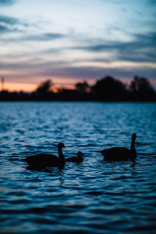three ducks on calm body of water