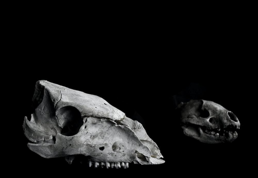 grayscale photography of two animal skulls