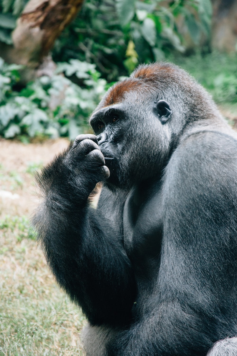gorilla picking nose in the field