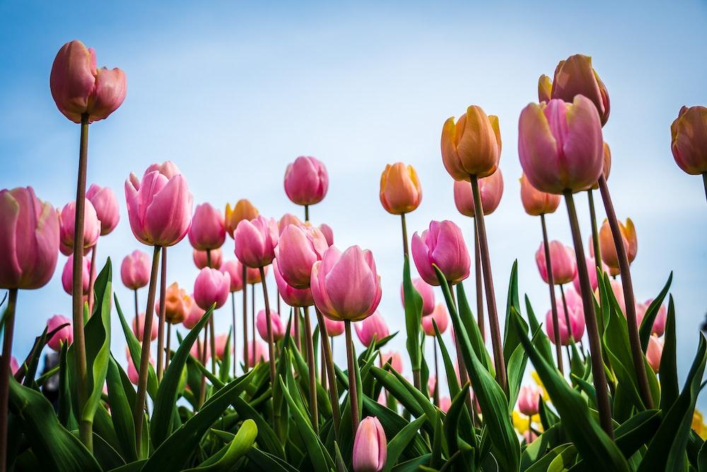 pink tulips at daytime