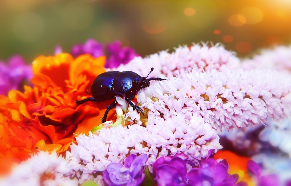 black beetle on white and orange flower