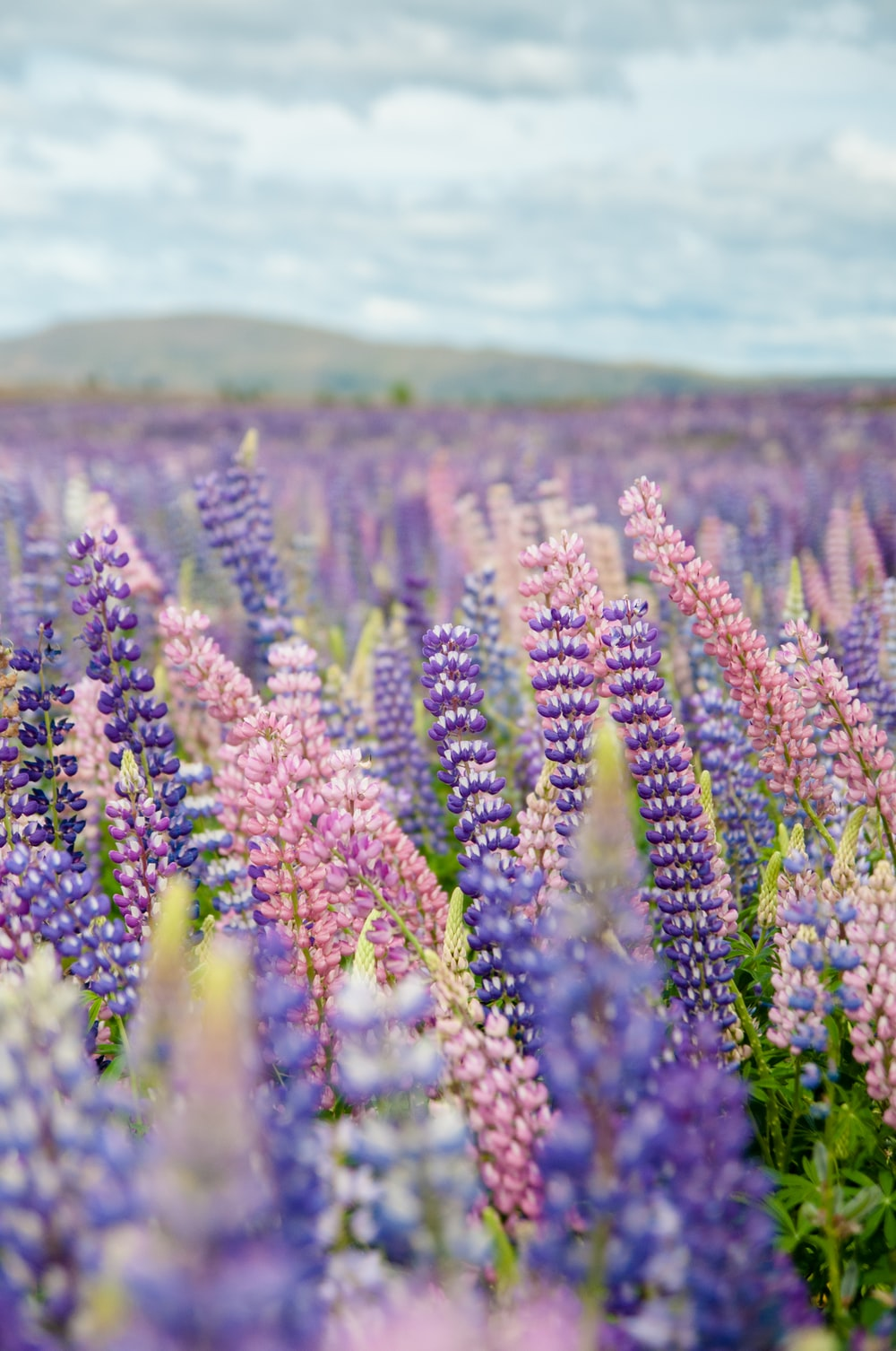 selective focus photography of purple and pink flower field