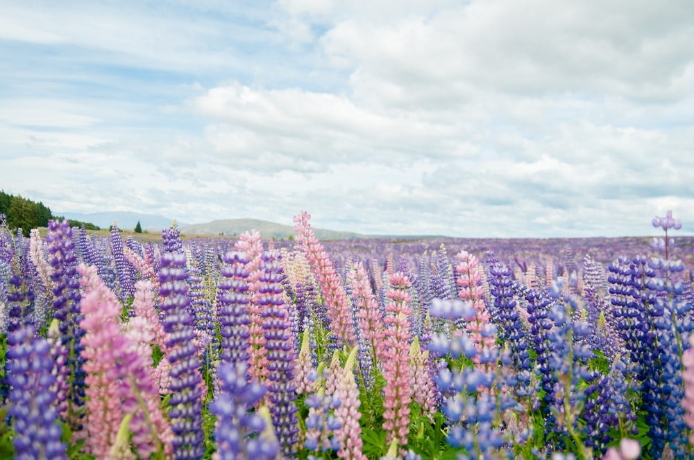 blue and pink flower field