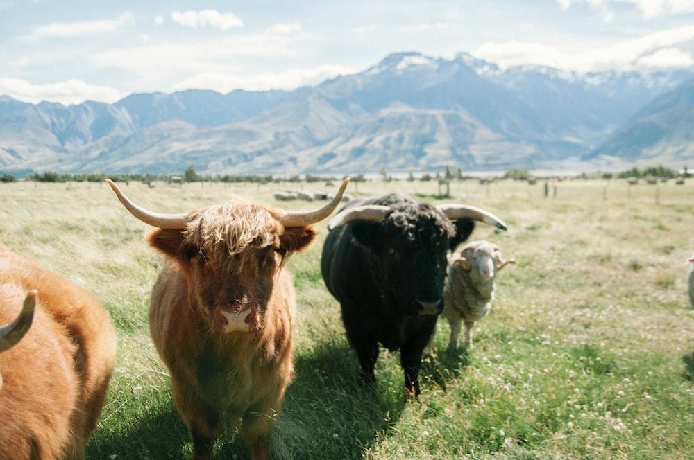 highland cattle on green plains during daytime