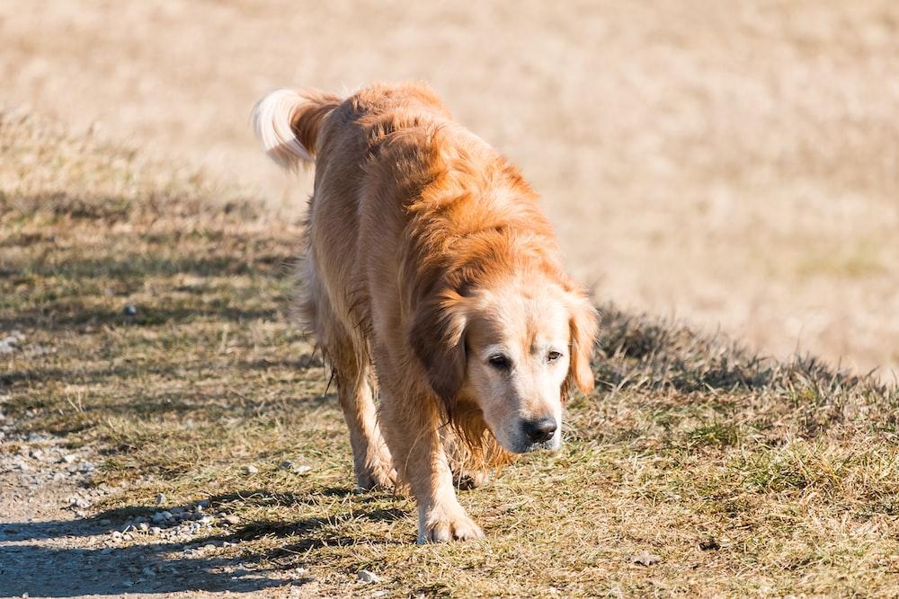 adult golden retriever walking on ground near outdoor during daytime