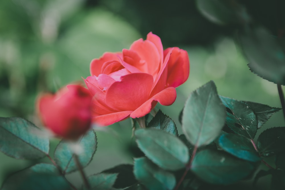 close-up photo of red petaled flowers