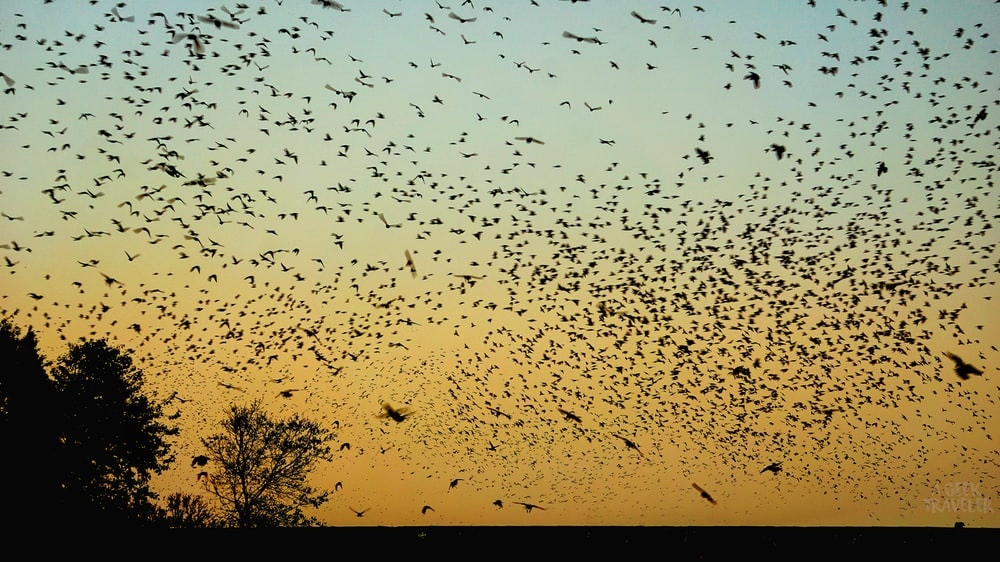 flock of birds flying in the sky during sunset