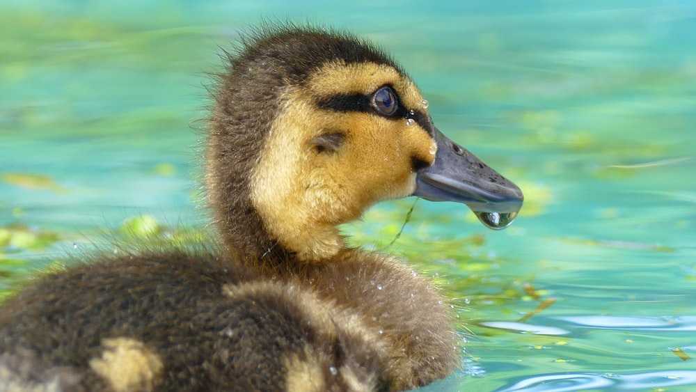 duckling on body of water during daytime