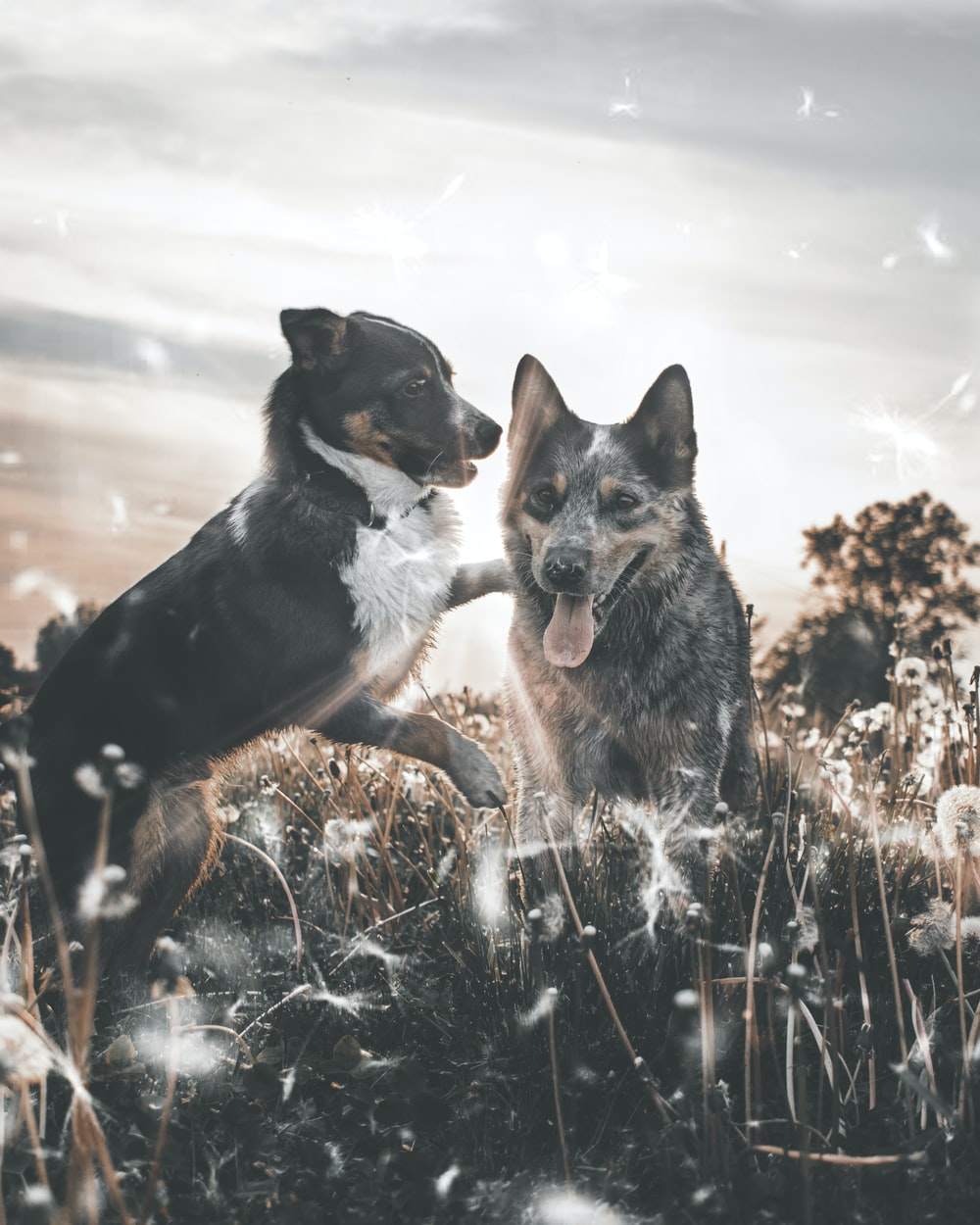 two dogs playing on dandelion fields