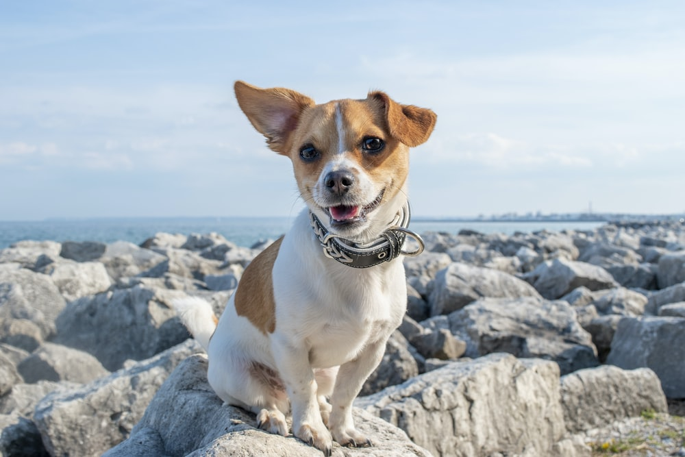 Which Breeds Grow Up To Be Medium-Sized Dogs?