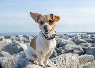 short-coated white and brown dog on rock