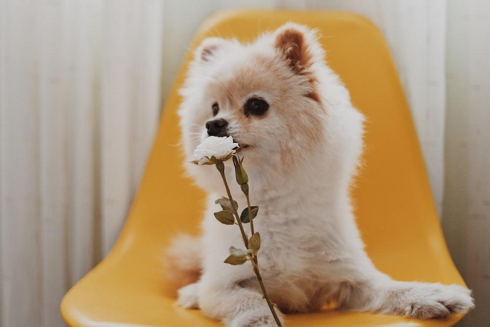 long-coated white puppy biting white flower