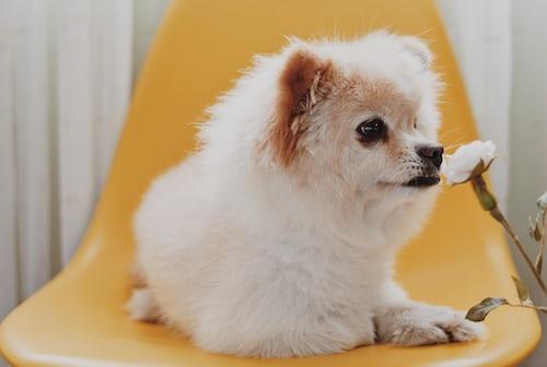 , Pomeranian Temperament Pomeranian Temperament: A Handy Guide, PawFax, PawFax