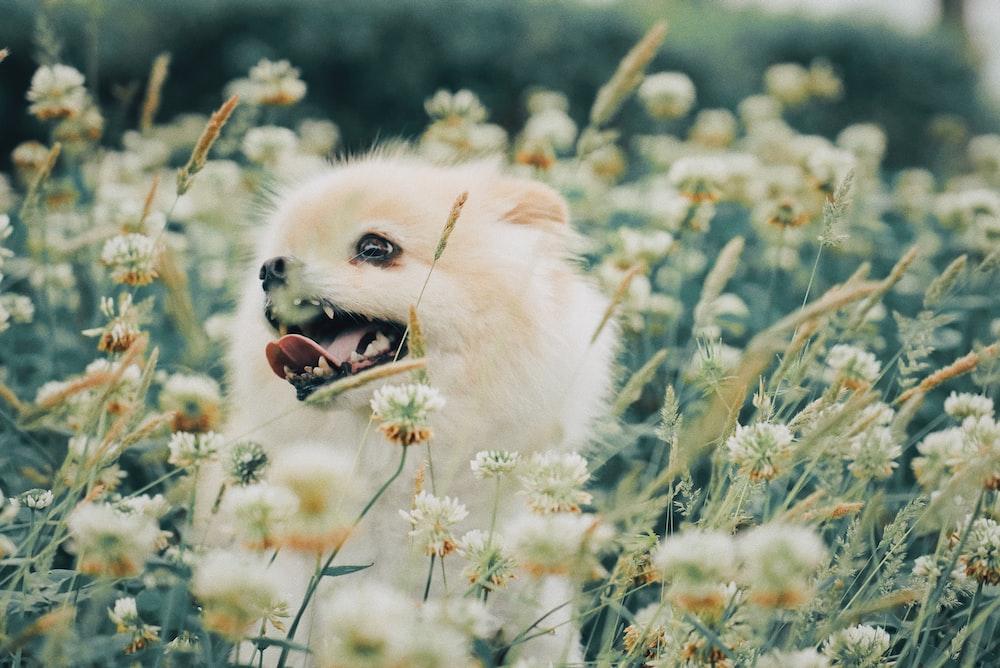 white puppy on white flower field