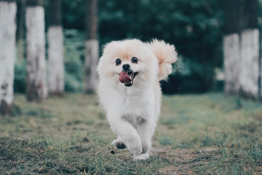 white Pomeranian dog running in green field, pomeranian hair cut