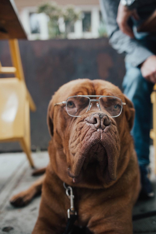 dog wearing eyeglasses