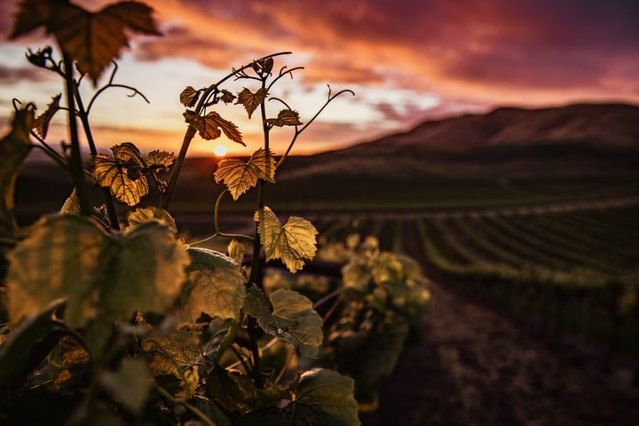 Sunsets Over the Vineyard