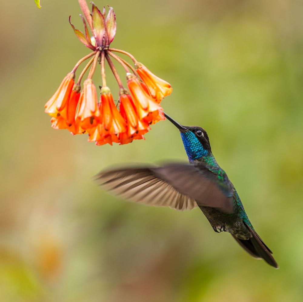 blue hummingbird