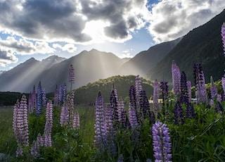 purple flowers under cloudy sky