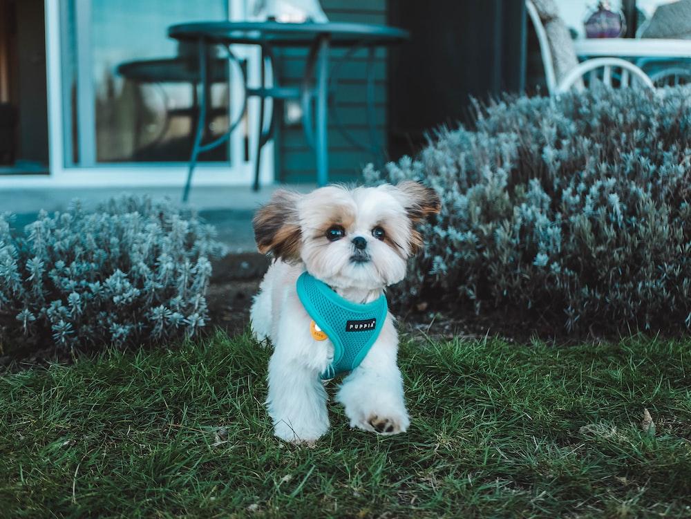 tan puppy