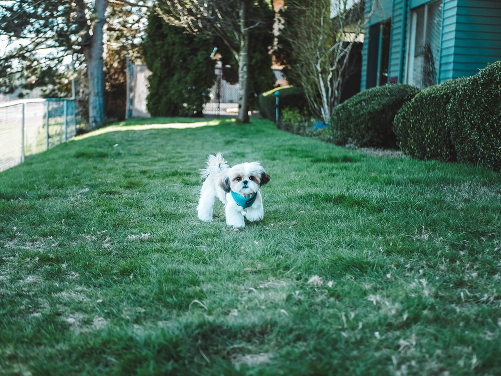 short-coated white puppy on green field