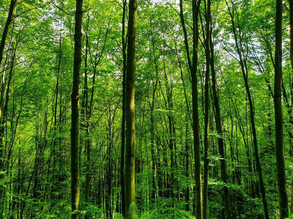 tall trees in forest