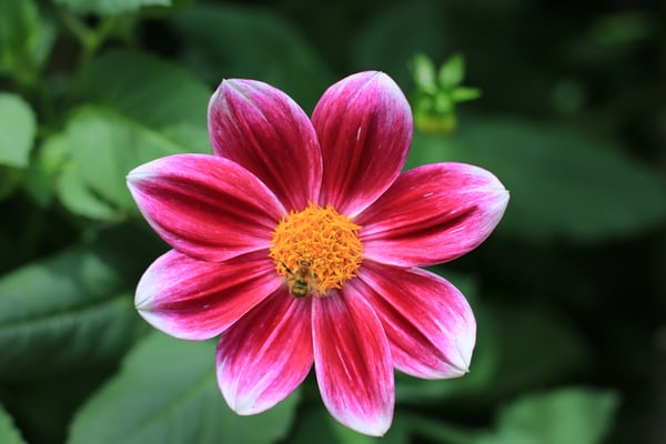Delilah flower