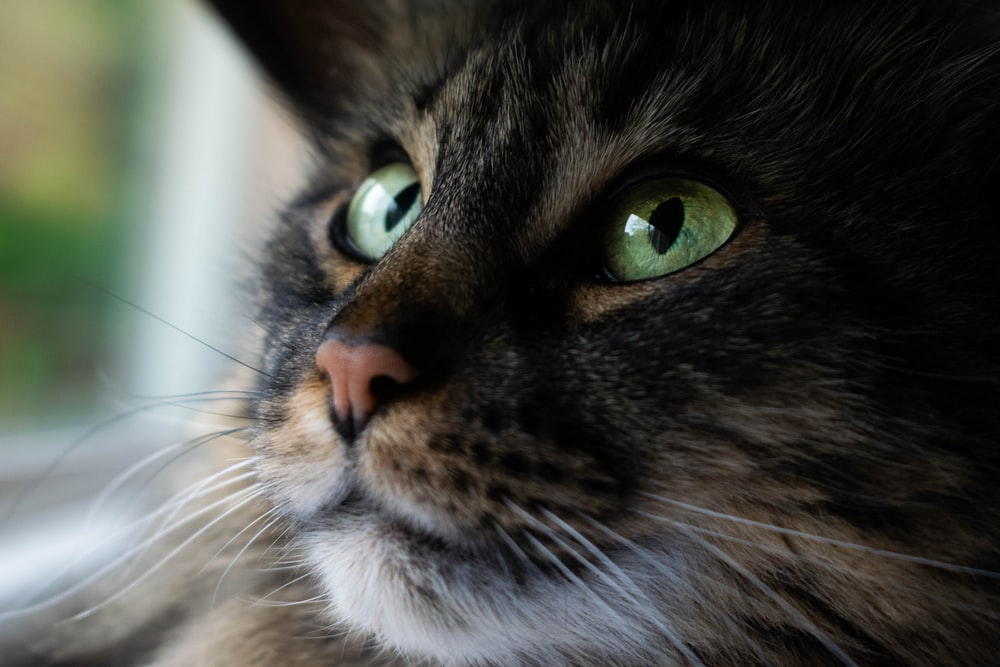 black and brown cat close-up photography