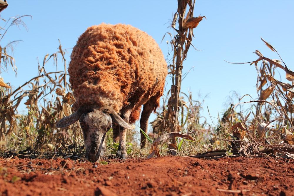 sheep eating grass during daytime