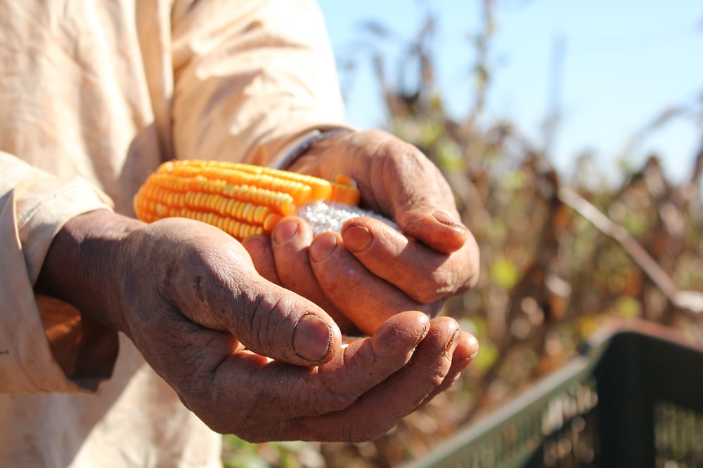 person holding corn in hand