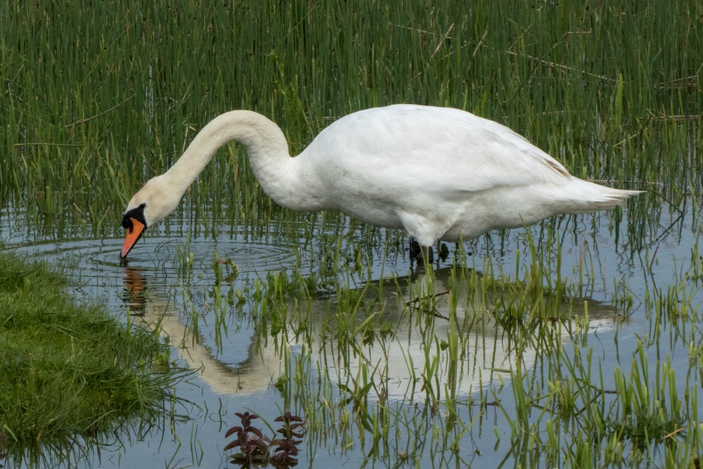 shallow focus photo swan