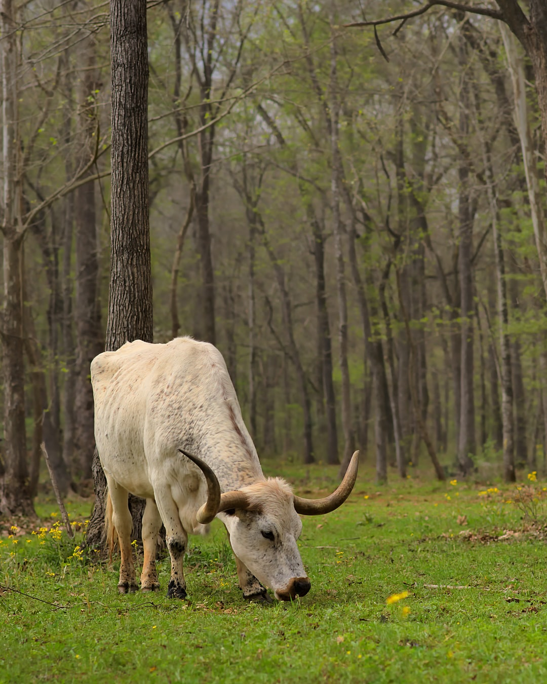 A steer grazes on a ranch in Texas.