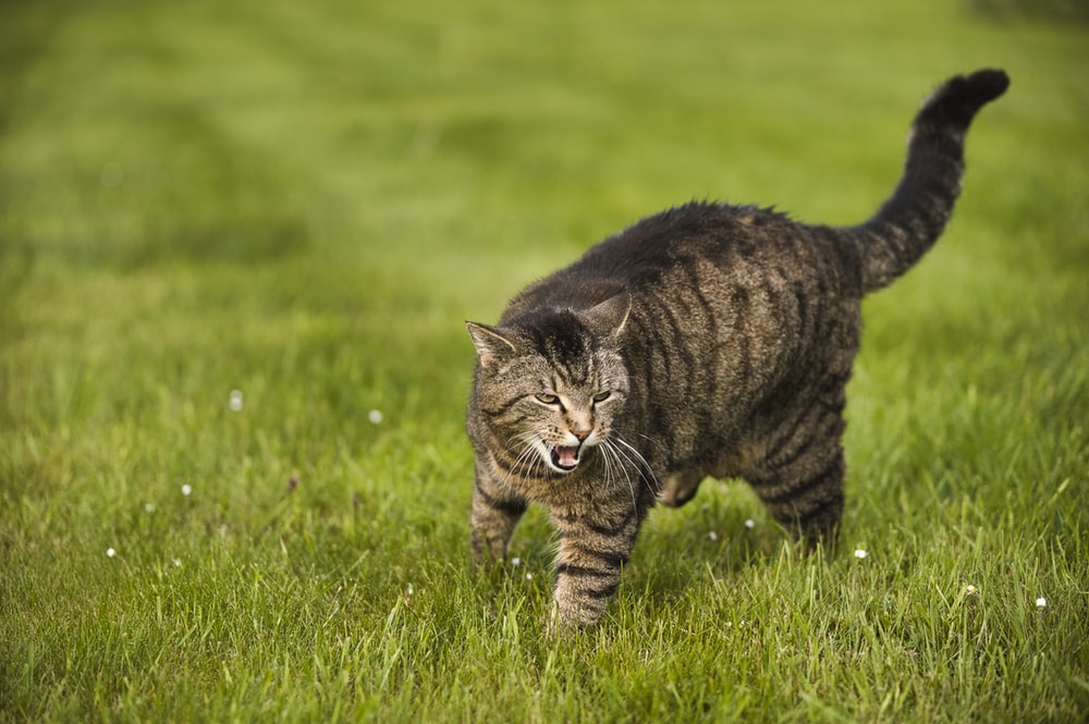 brown tabby cat on green lawn during daytime