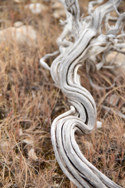 gray root