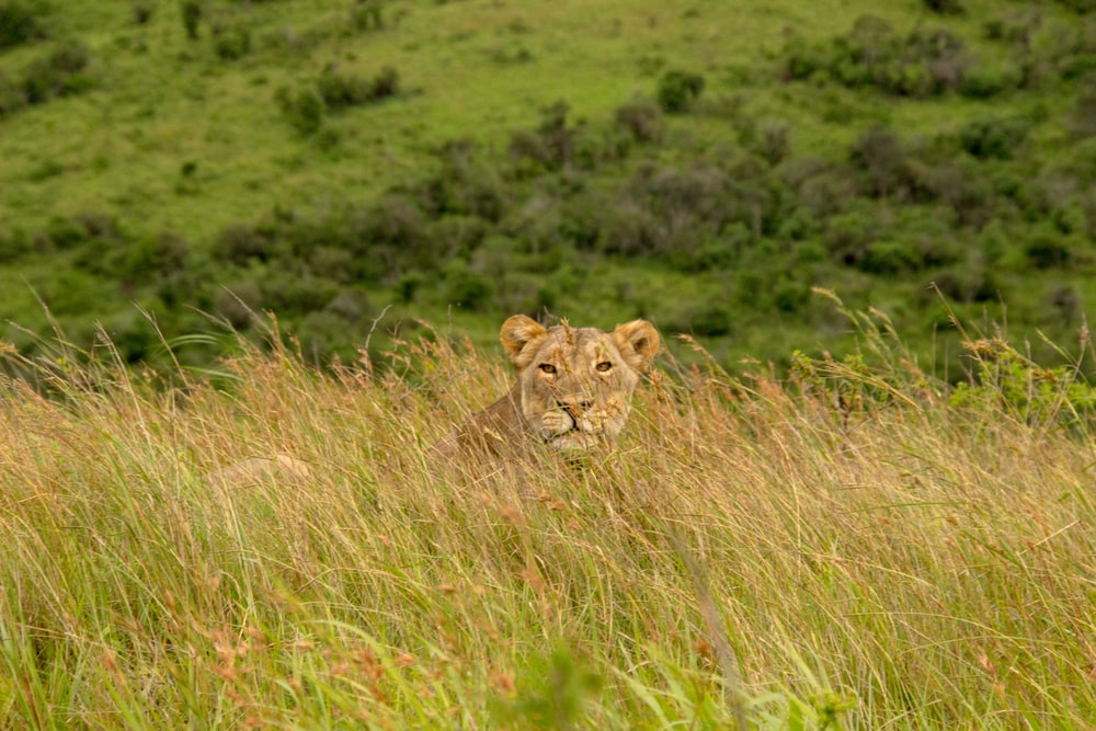 brown lion on fiend