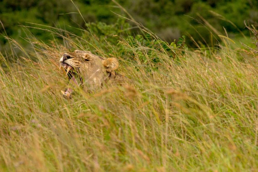 lion on grass field during daytime