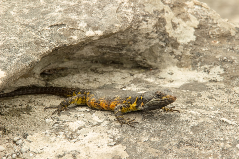 brown and yellow lizard