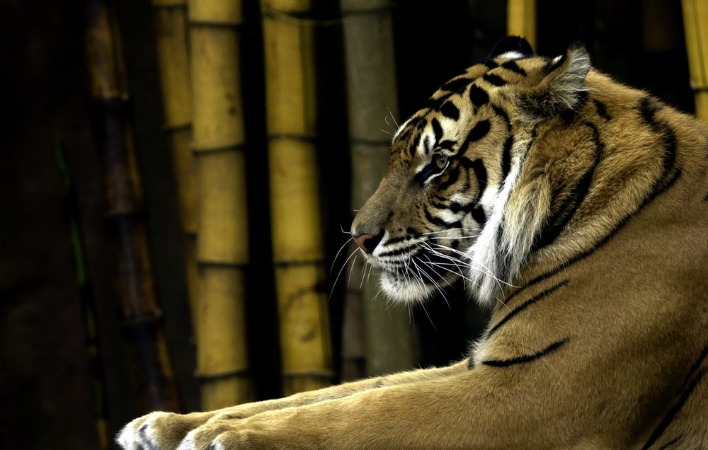 brown tiger beside bamboo trees
