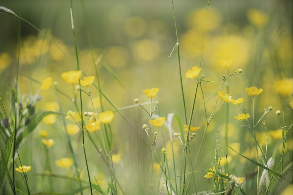 yellow flowerfield