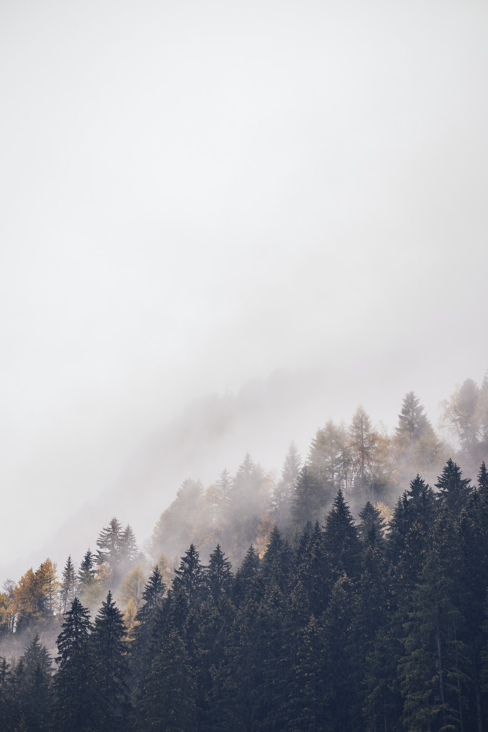 mountain with tall trees covered with fogs