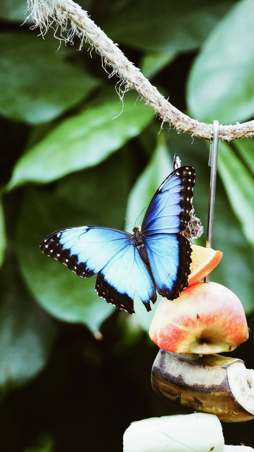 blue and black butterfly